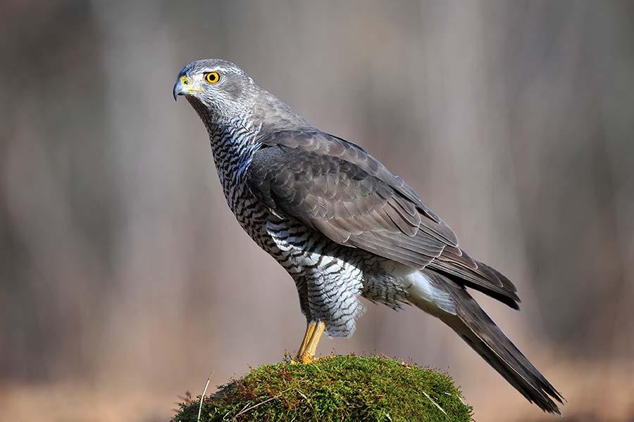 Washington State S Endangered Raptors Raptorlife