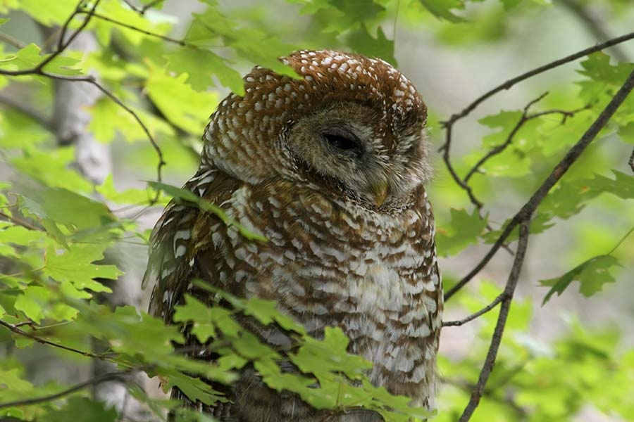 Pacific Spotted Owl (Strix occidentalis)